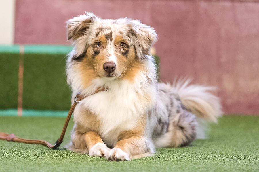 Australian Shepherd Heavenlystriker Toffee Fee